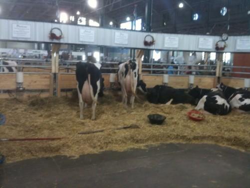 cows state fair